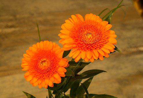 Nature, Flower, Plant, Summer, Floral, Orange, Gerbra