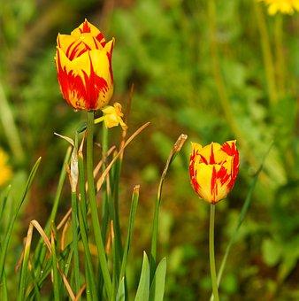 Flower, Nature, Summer, Plant, Bright, Tulip, Growth