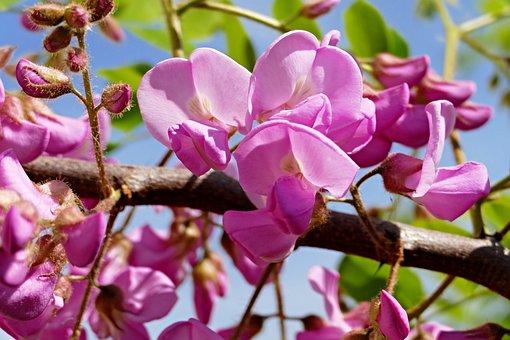Acacia, Tree, Okrasný, Blooming Tree, Branch, Flowers