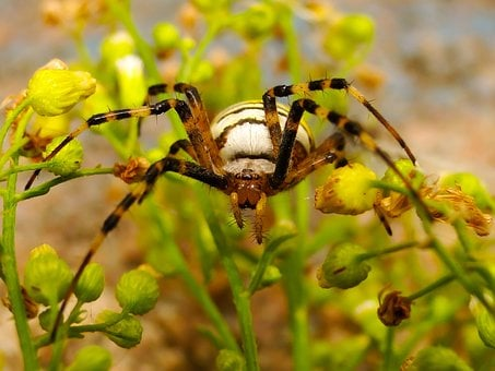 Insect, Nature, At The Court Of, Spider, Plant, Animals