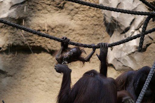 Mammals, Orang-utan, Ape, Animal, Monkey, Primate