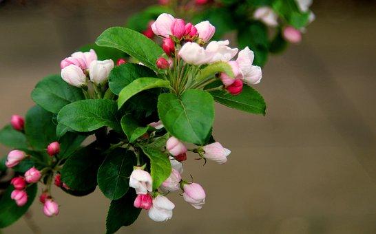 Nature, Flower, Leaf, Flora, Tree, Branch, Shrub, Apple