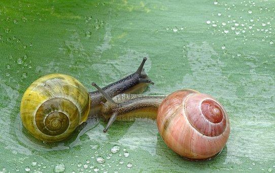 Snail, Shell, Slowly, Slimy, Bauchfuessler, Nature