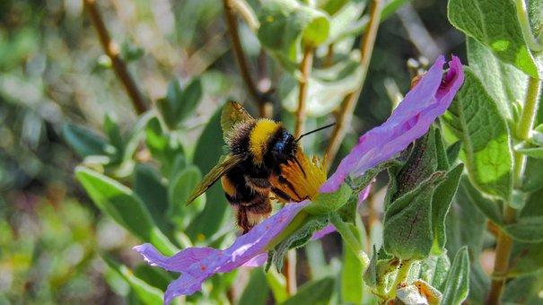 Bumblebee, Borinot, Bee, Nature, Insect, Flower