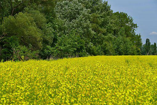 Colza, Rape, Blooming Flowers, Field, Country