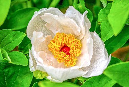 Peony, Paeoniaceae, Blossom, Bloom, Petals, Leaf, Plant