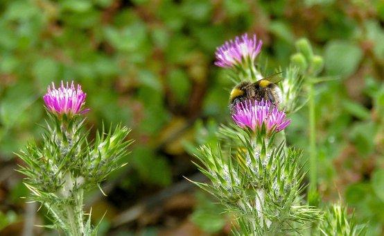 Bumblebee, Borinot, Nature, Plant, Flower, Leaf