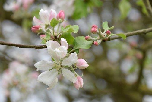 Flower, Tree, Branch, Nature, Apple, Garden, Fruit Tree