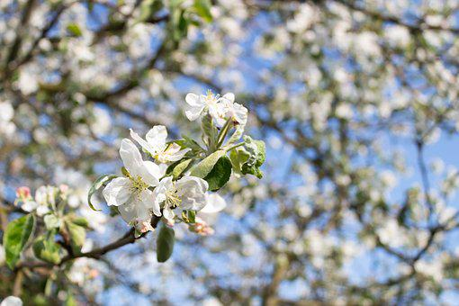 Tree, Branch, Flower, Season, Plant, Apple, Blossoming