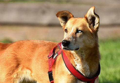 Dog, Animal, Different Eye Colors, Pet, Brown