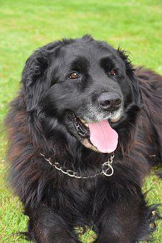 Dog, Mammal, Canine, Animal, Portrait, Newfoundland