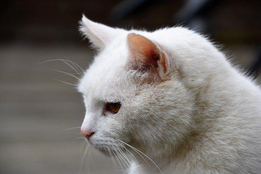 Animal, Mammal, Cat, Nature, White, Profile, Feline