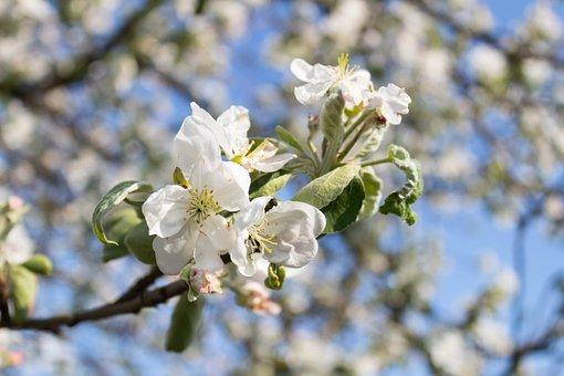 Tree, Flower, Branch, Apple