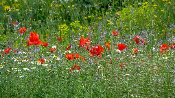Poppy, Flower, Papaverales, Papaver Rhoeas L, Plant
