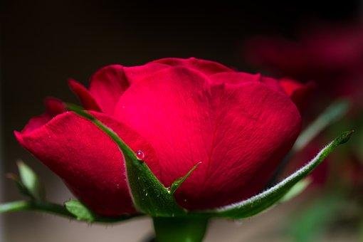 Flower, Rose, Petal, Garden, Nature, Leaf, Red, Bokeh