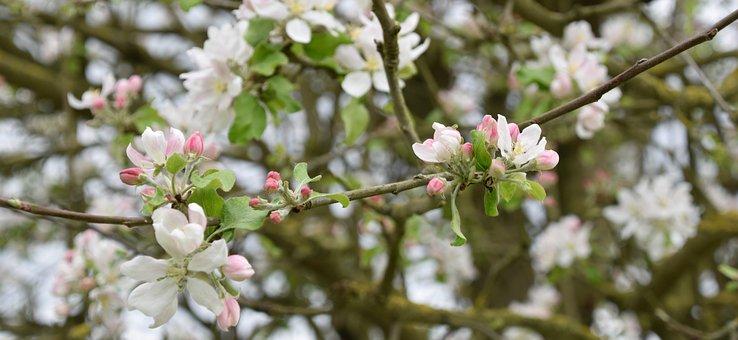 Tree, Flower, Nature, Branch, Apple, Spring