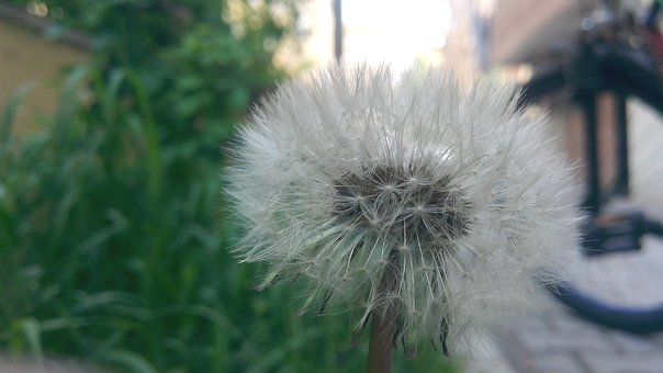 Nature, Fluffy, Taraxacum, Plant