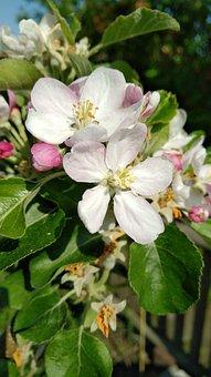 Flower, Nature, Plant, Leaf, Garden, Apple, Flowers