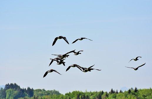 Goose, Birds, Poultry, Water Bird, Wild Geese