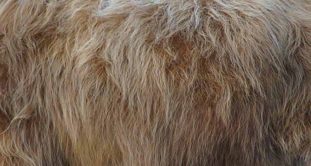 Fur, Animal, Nature, Hair, Background, Highland