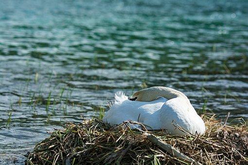 Swan, Breed, Rest, Break, Sleep, Hunter Lake, Salzburg