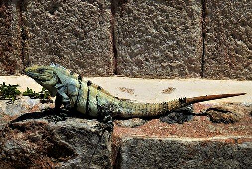 Nature, Reptile, Iguana, Mexico, Wild, Animal