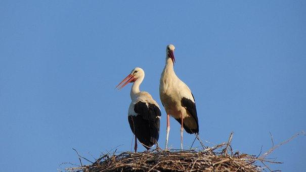 Wildlife, Bird, Nature, Animal, Beak, Nest, Water, Swan