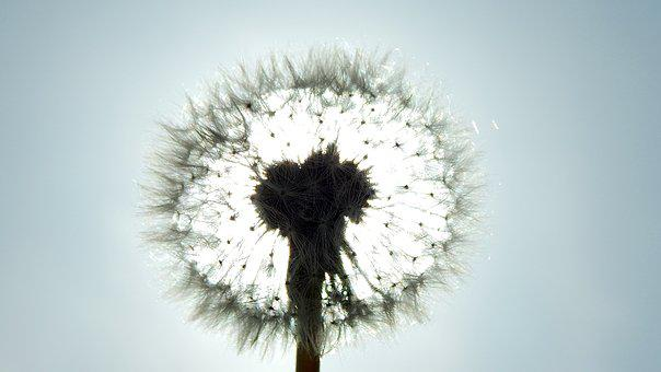 Fluffy, Dandelion, Nature, Nobody, Day S