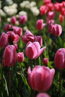 Nature, Plants, Flowers, Summer, Leaf, Tulip, April