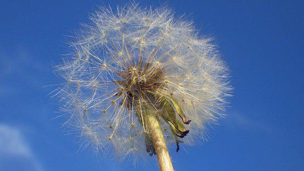 Dandelion, Nature, Fluffy, Summer, Mag, Outdoors