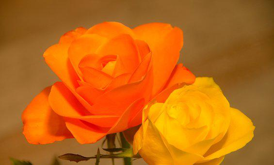Flower, Rose, Romance, Nature, Love, Orange, Yellow