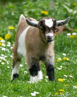 Animal, Pet, Goat, Young Goat, Farm, Kid, Playful