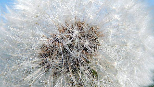 Dandelion, Nature, Fluffy, Plant, Summer, Fine, Nobody
