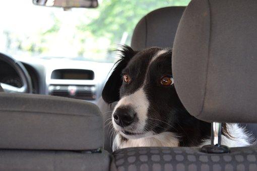 Auto, Dog, Sit, Pet, Portrait, Young, Mammal, Animal