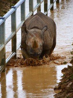 Rhino, Charging, Rhinoceros, Nature, Water, Animal