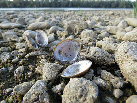 Nature, Shell, River, Seashore, Shellfish