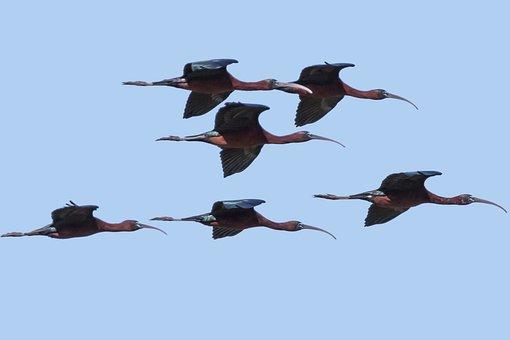 Spain, Andalucia, Parque Doñana, Glossy Ibis, Bird