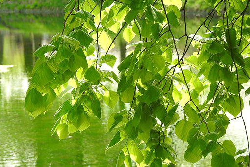 Leaf, Plant, Nature, The Freshness, Lush, Lipa, Branch
