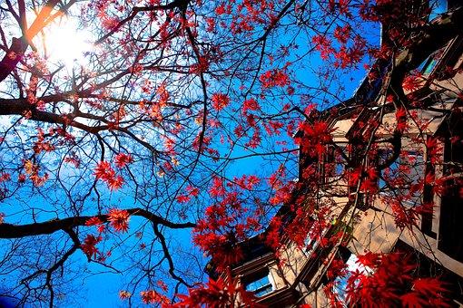 Tree, House, Blue Sky, Season, Nature, Maple