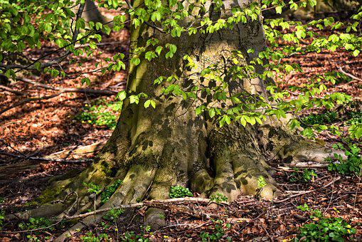 Tree, Trunk, Roots, Branch, Foliage, Old Tree, Gnarled