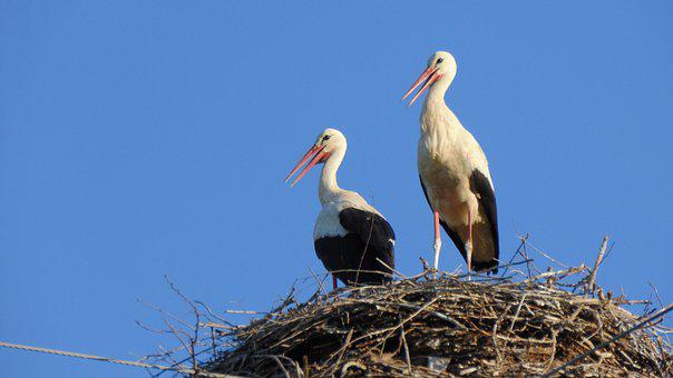 Bird, Wildlife, Nature, Animal, Stork, Nest, Water