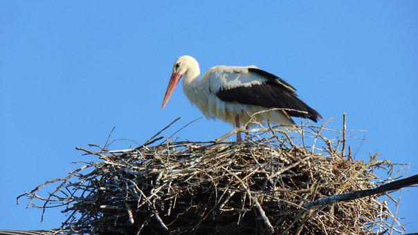 Bird, Nature, Wildlife, Nest, Animal, Water, Swan