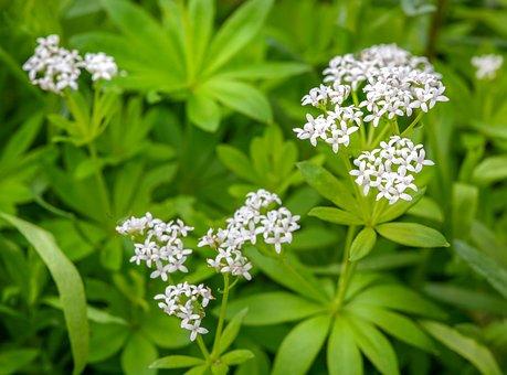 Woodruff, Galium Odoratum, Fragrant Bedstraw, Herbs
