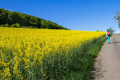 Oilseed Rape, Field Of Rapeseeds, Yellow, Spring