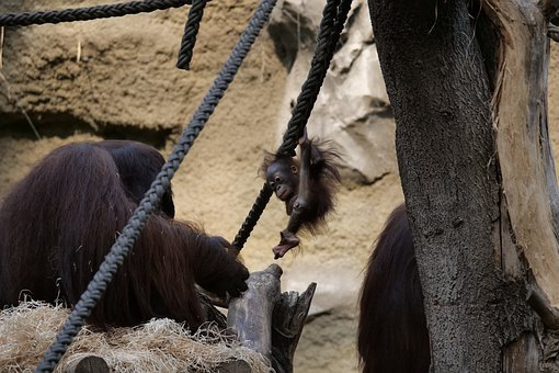 Mammal, Orang-utan, Young, Cute, Monkey Baby