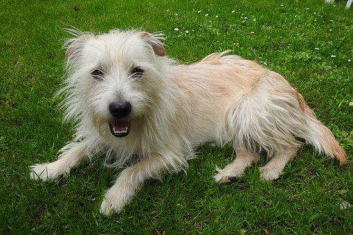 Dog House, Pets, Mammals, Puppy, White Dog, A Yorkshire