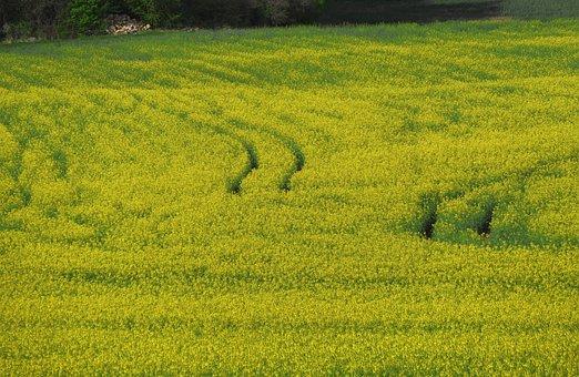 Field Of Rapeseeds, Field, Agriculture, Oilseed Rape