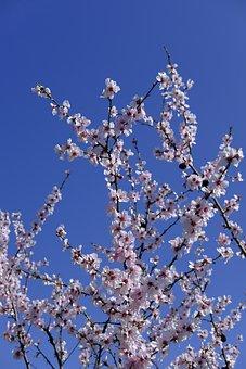 Flower, Blossom, Bloom, Almond Blossom, Almond
