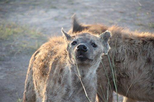 Nature, Mammal, Wildlife, Animal, Wild, Hyena, Ambles
