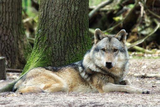 Wolf, Nature, Wood, Mammal, Animal World, Wild, Animal
